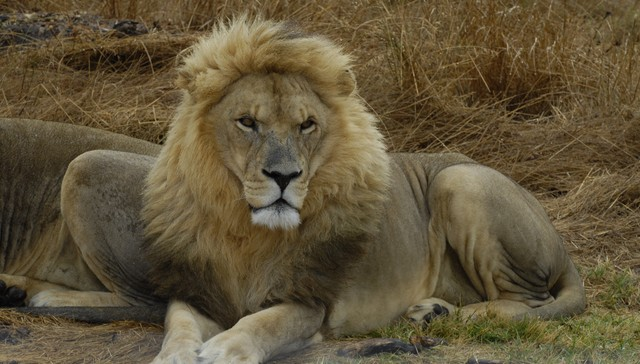 american trophy hunters condemn south african lion hunting