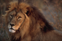 Close view of an African lion (Panthera leo).