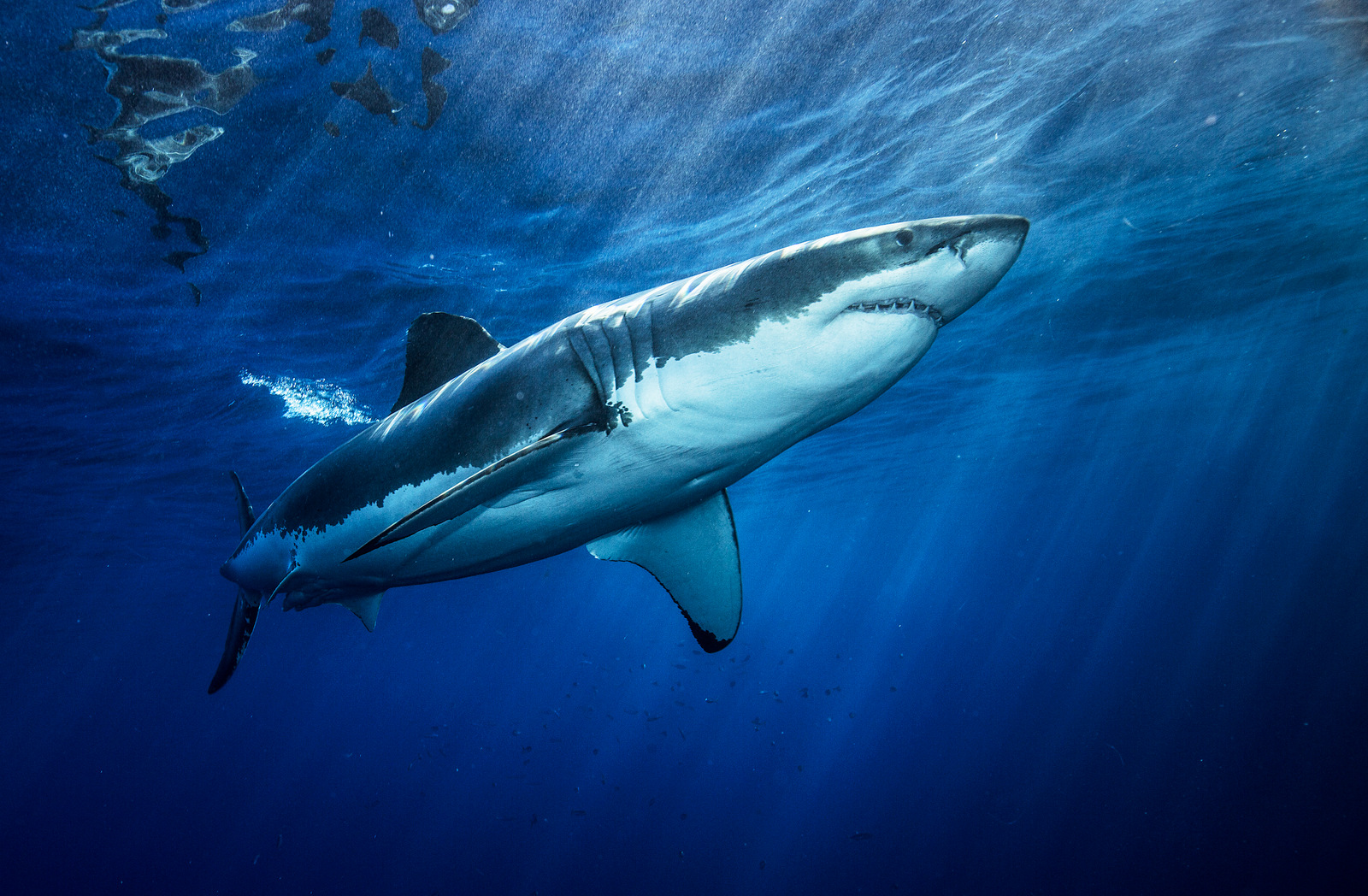 Ignorance is greatest threat to survival of great white for Picture great