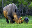 A Southern White Rhino named Bella eats with her one-day-old baby at Ziwa Rhino Sanctuary in Nakasongola April 3, 2014. REUTERS/Edward Echwalu