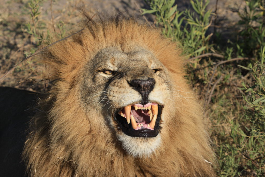 553d85e257b CAT - The effects of trophy hunting on five of Africa s iconic wild animal  populations in six countries – Analysis - Conservation Action Trust
