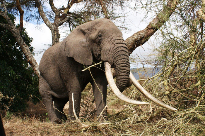 497a65cbd The Elephant Trade Information System (ETIS) and the Illicit Trade ...