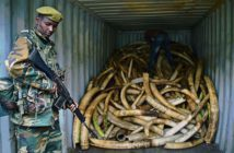 A ranger watches over confiscated ivory at the Kenya Wildlife Service headquarters in Nairobi on April 4. (Photo: Carl De Souza/Getty Images)