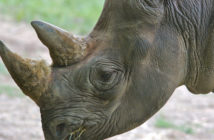 A file image of a black rhino. Credit: flickr.com/Ryan Poplin