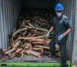 A worker from the Department of Wildlife and National Parks with seized African elephant tusks in Port Dickson, Malaysia. Photograph: Mohd Samsul Mohd Said/Getty Images