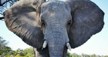 Thirty thousand African elephants are slaughtered for their ivory every year. Photograph: Harry Zhang/Getty