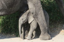 Baby elephant between legs, Mozambique