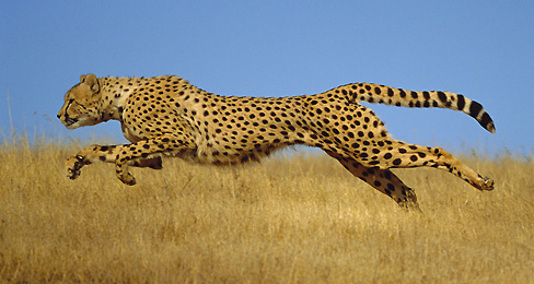 Cheetahs Heading Towards Extinction As Population Crashes