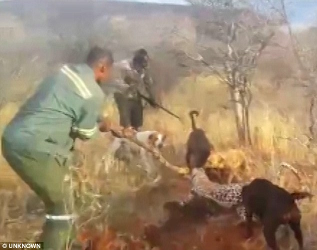 Leopard is savaged by dogs then beaten to death with an axe in