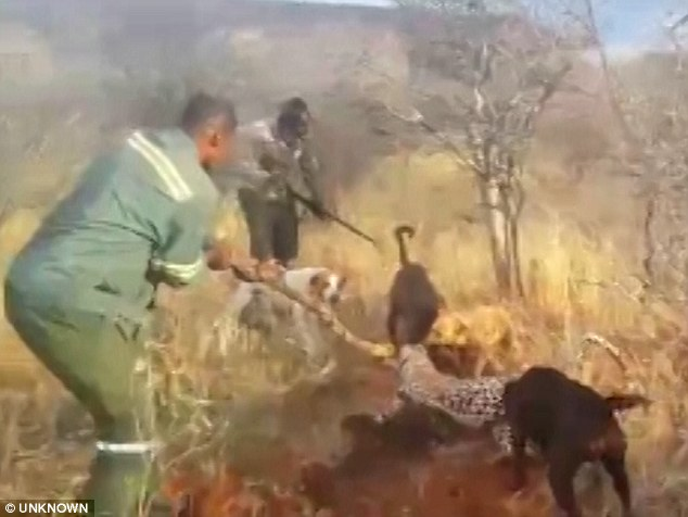Leopard is savaged by dogs then beaten to death with an axe