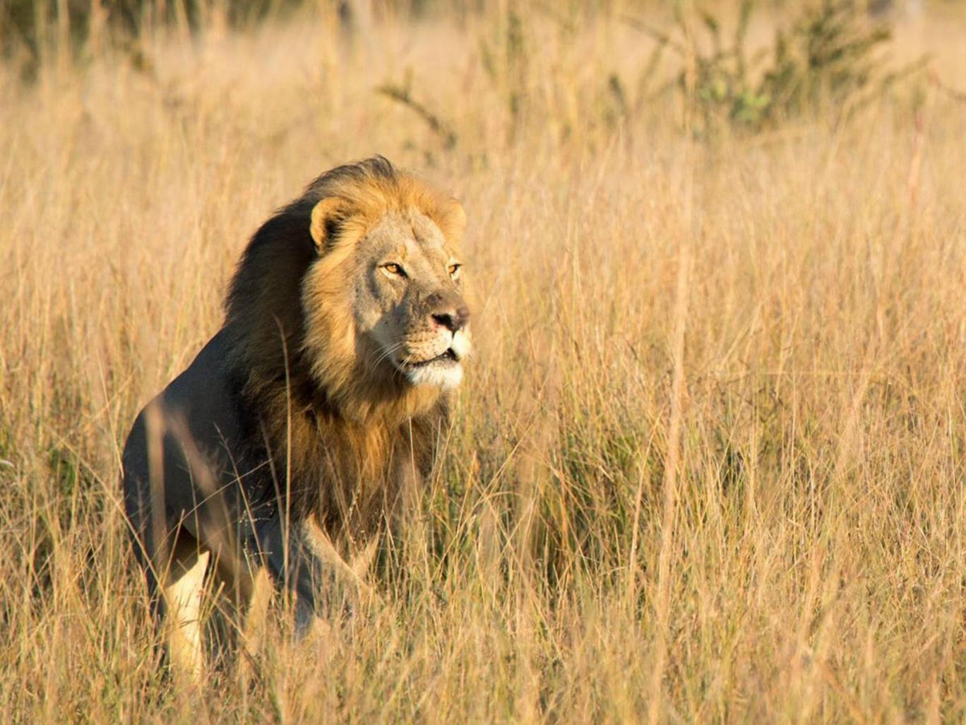 lion trophy hunting the death of xanda in zimbabwe conservation