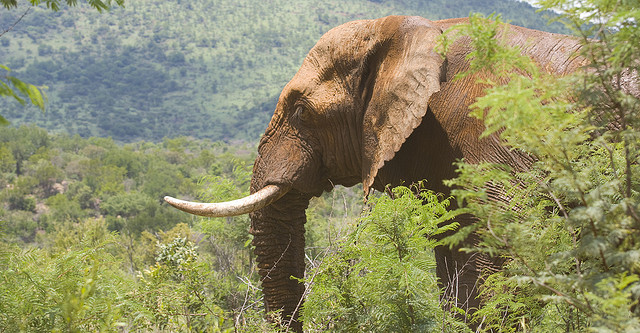 4c3ec3956ff949 Sale of ivory to be banned in the UK as part of government plan to help  protect elephants