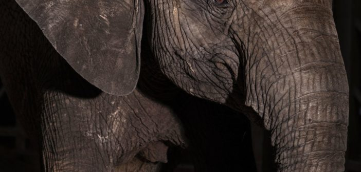 FEATURE Zoos Called It a 'Rescue ' But Are the Elephants