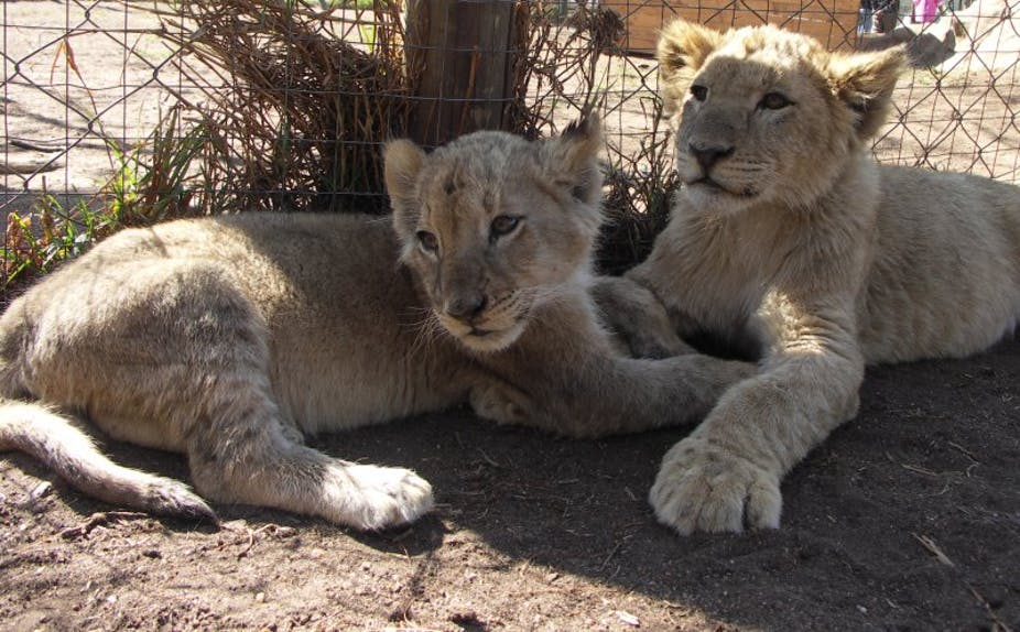 Captive lion breeding in South Africa: the case for a total ban